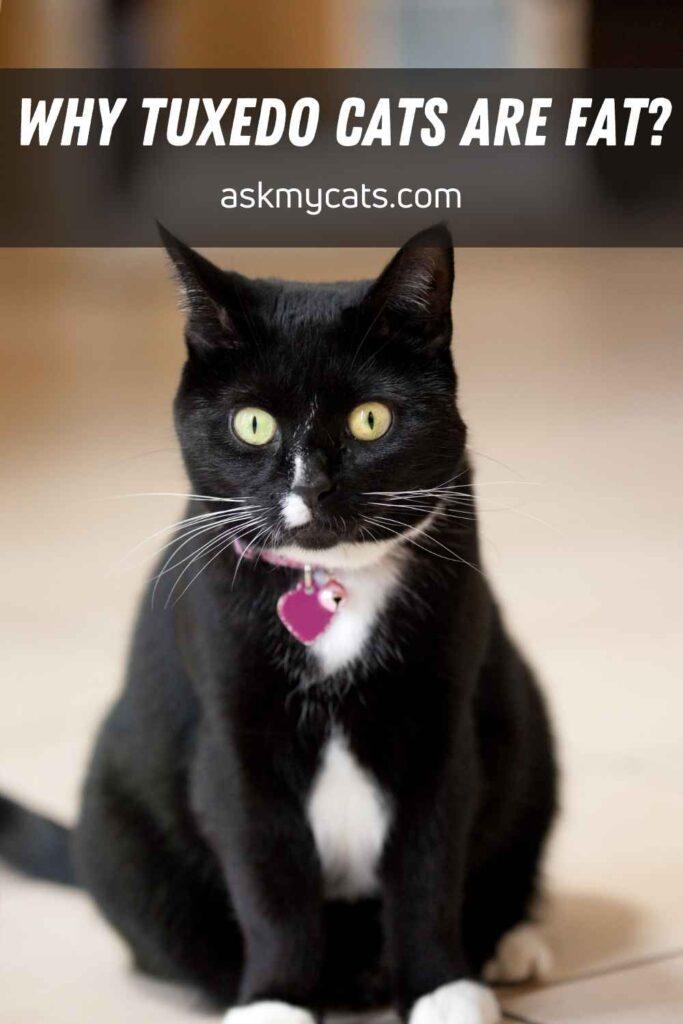 Why Tuxedo Cats Are Fat?