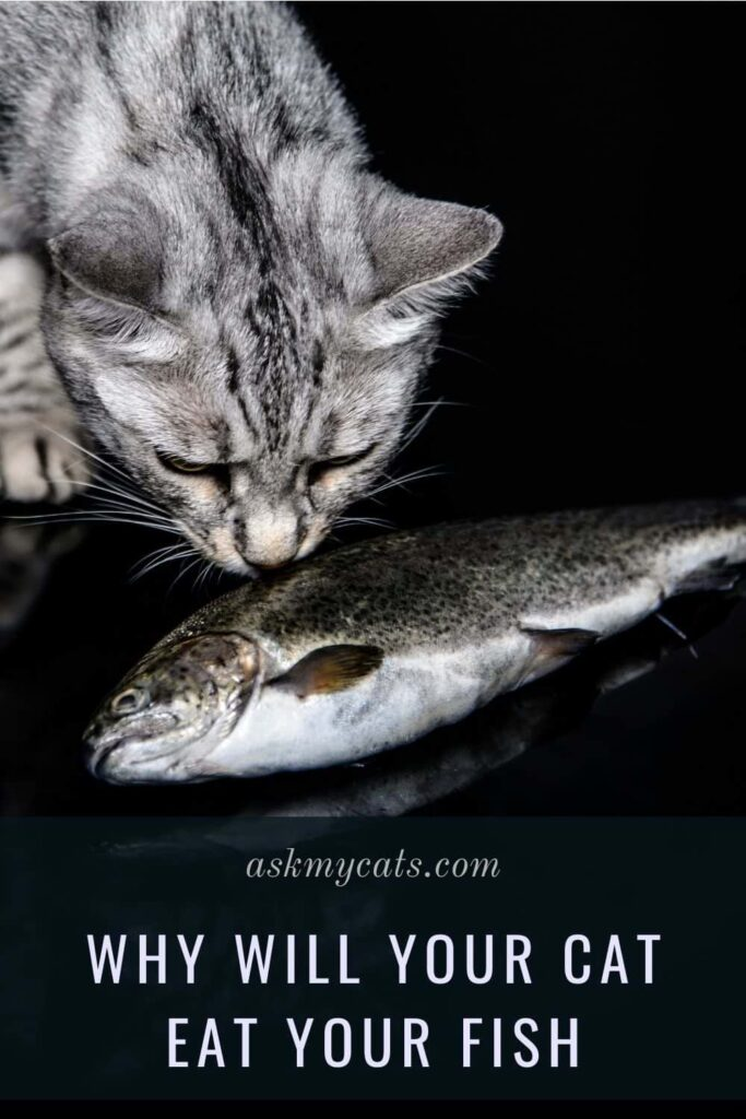 Why Will Your Cat Eat Your Fish