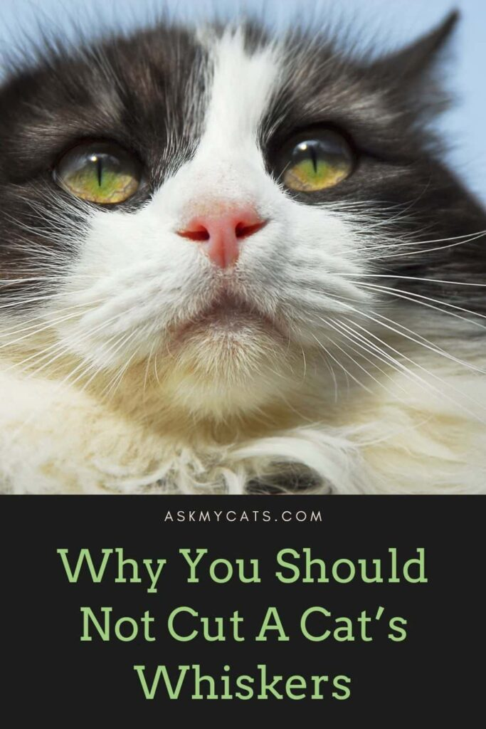 Why You Should Not Cut A Cat's Whiskers