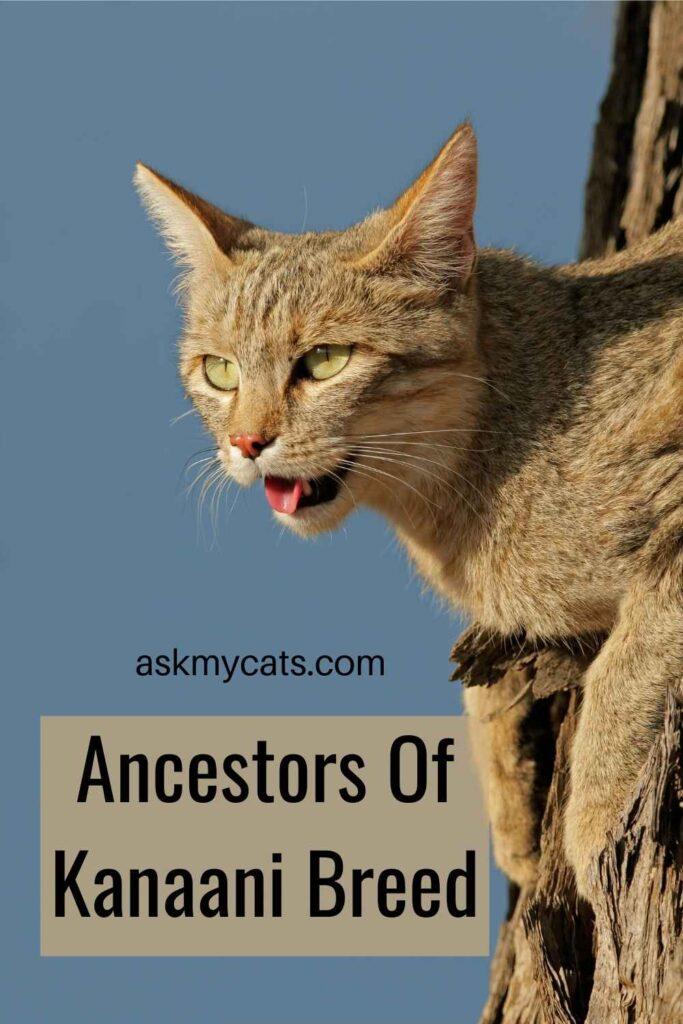 Ancestors Of Kanaani Breed