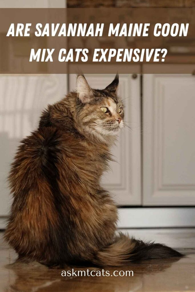 Are Savannah Maine Coon Mix Cats Expensive?