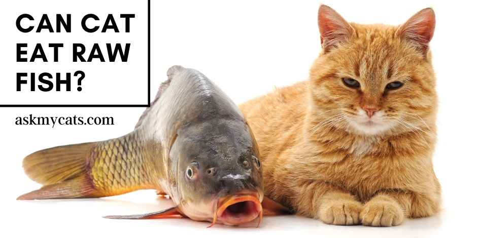 Can Cat Eat Raw Fish