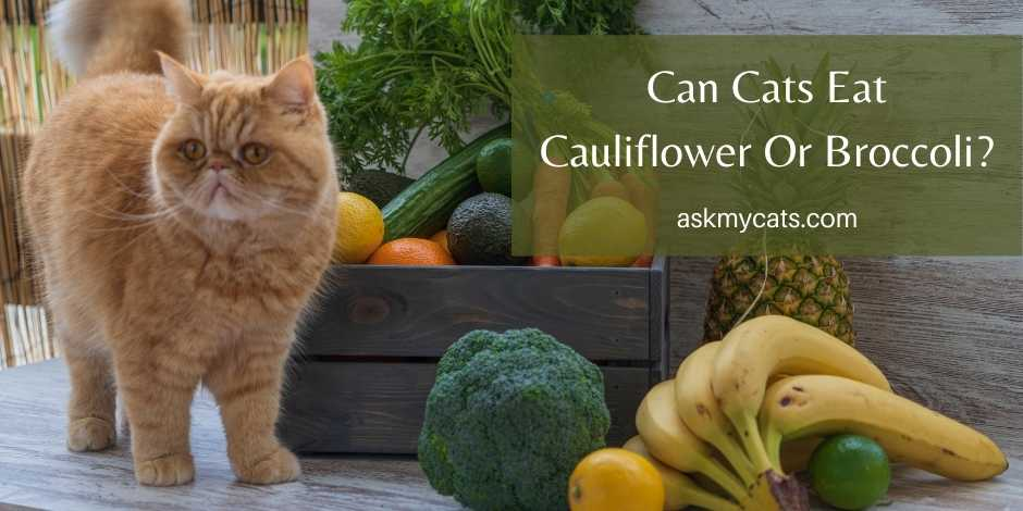 Can Cats Eat Cauliflower Or Broccoli