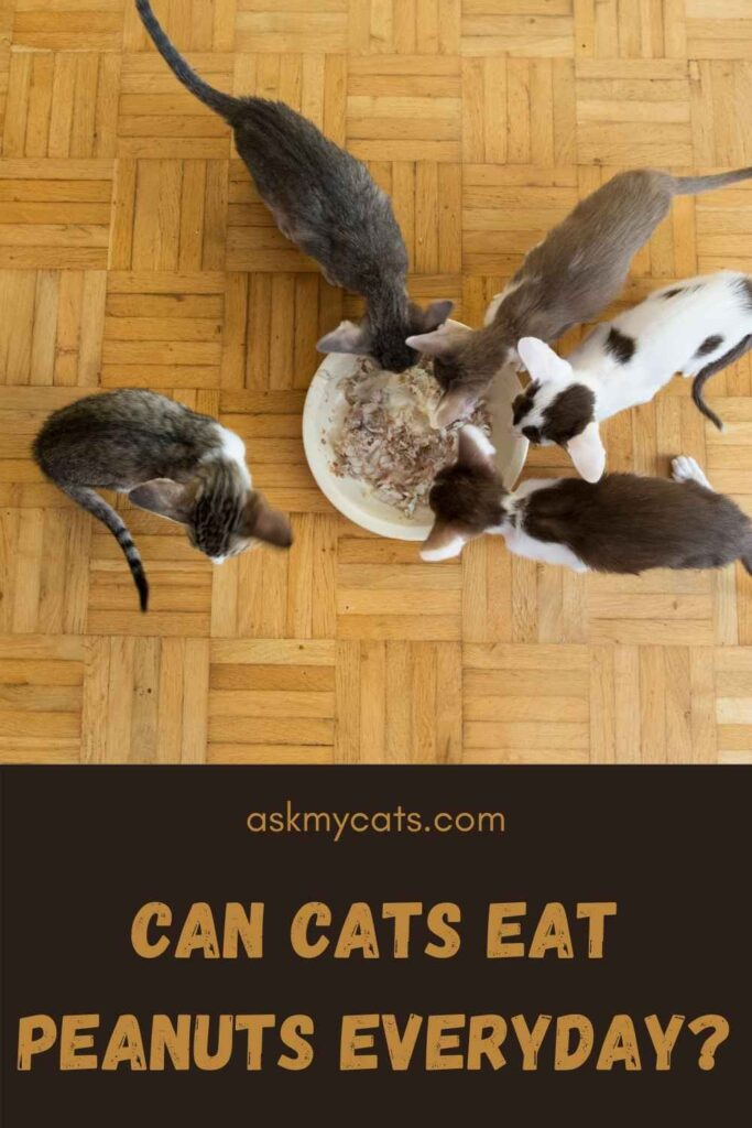 Can Cats Eat Peanuts Everyday?
