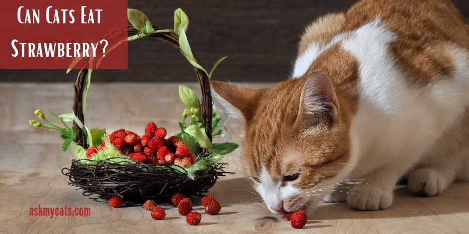Can Cats Eat Strawberry