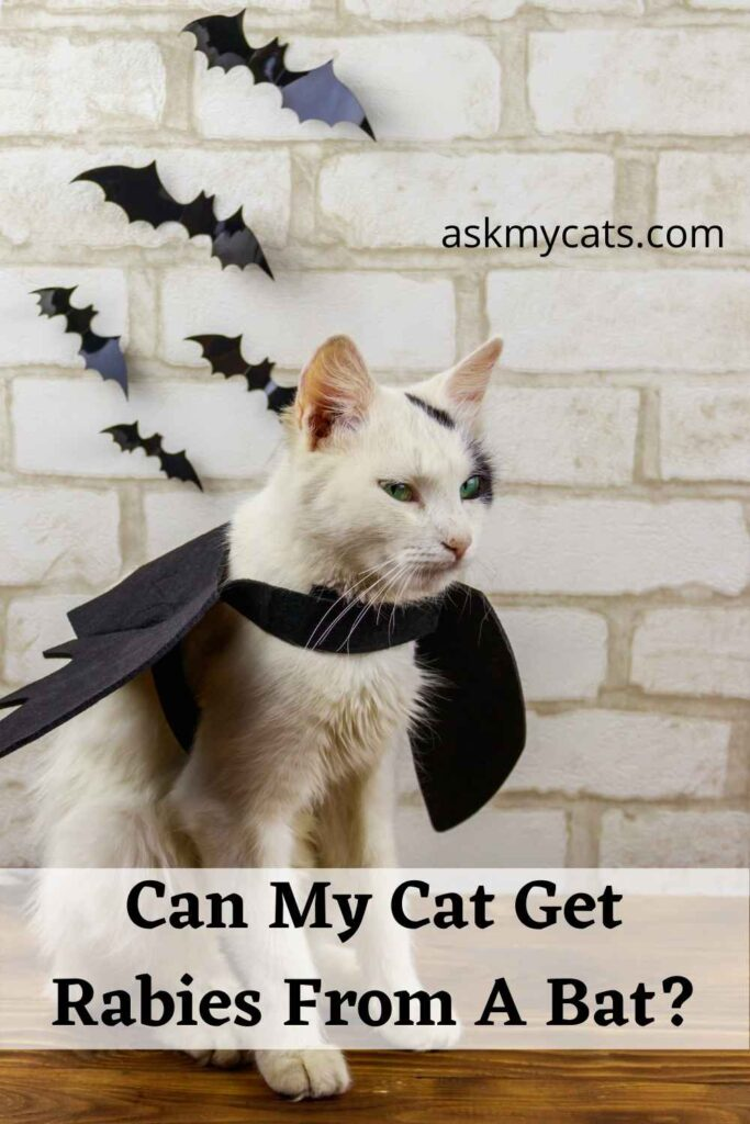 Can My Cat Get Rabies From A Bat?
