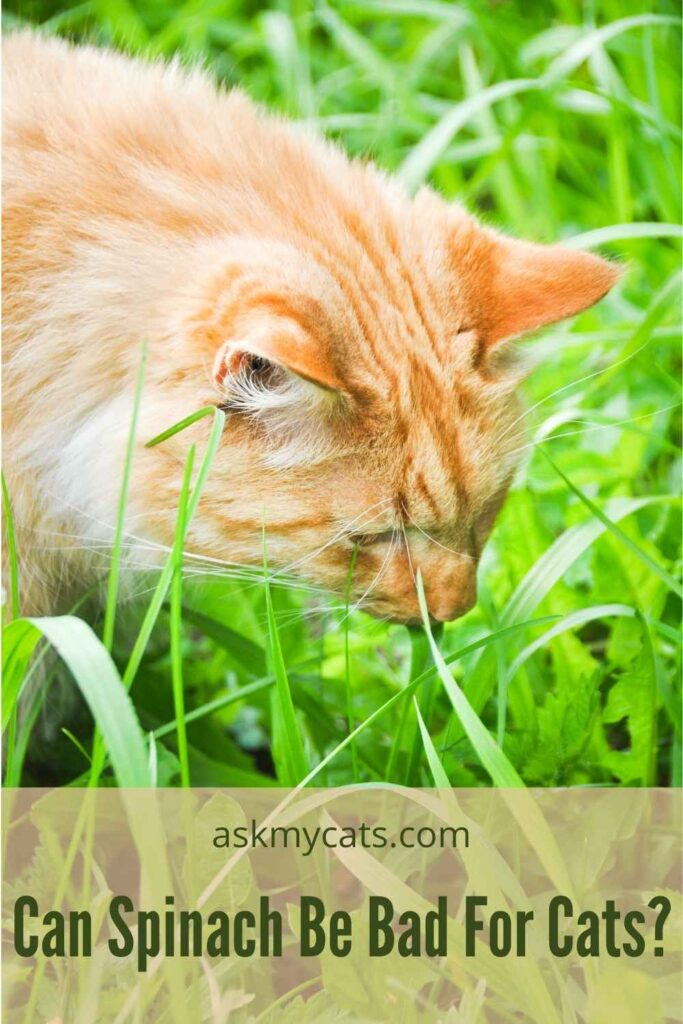 Can Spinach Be Bad For Cats?