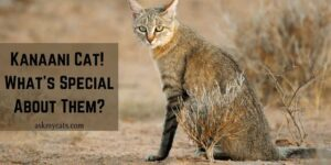 Kanaani Cat! What's Special About Them?
