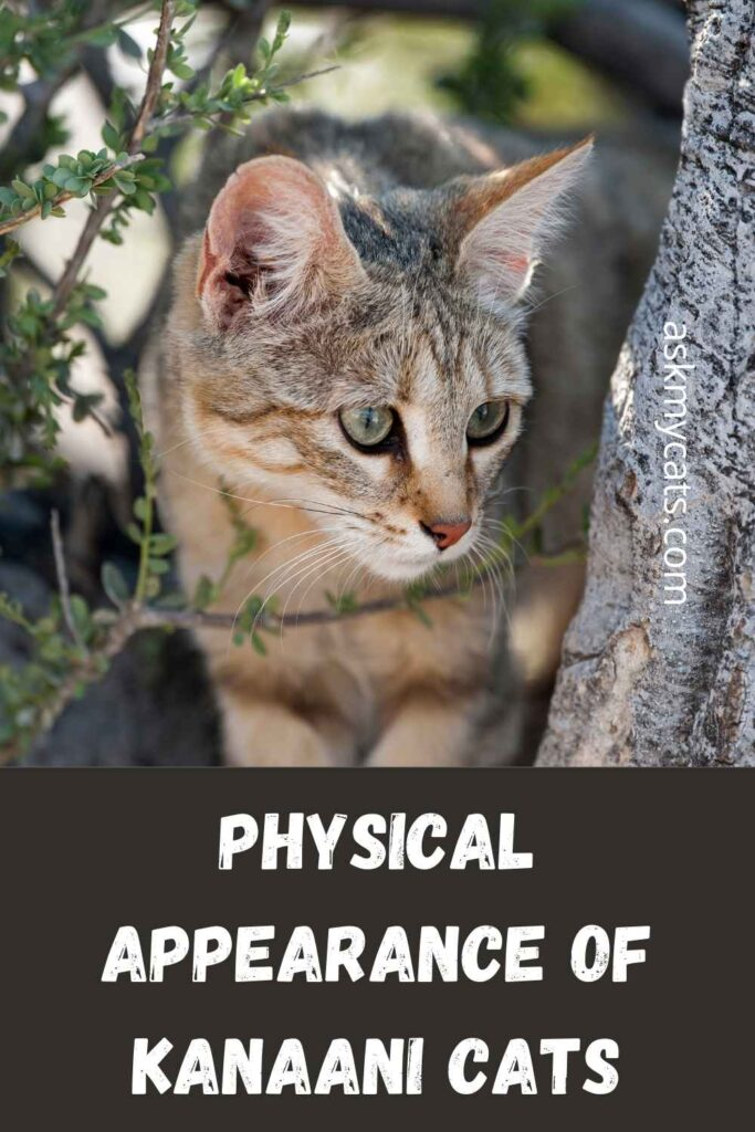 Physical Appearance Of Kanaani Cats