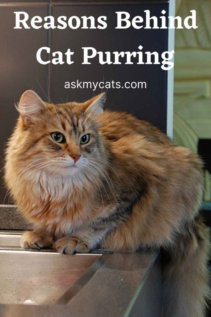 Reasons Behind Cat Purring