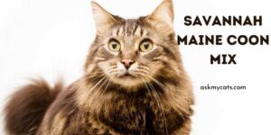 Savannah Maine Coon Mix! What Do You Need To Know?