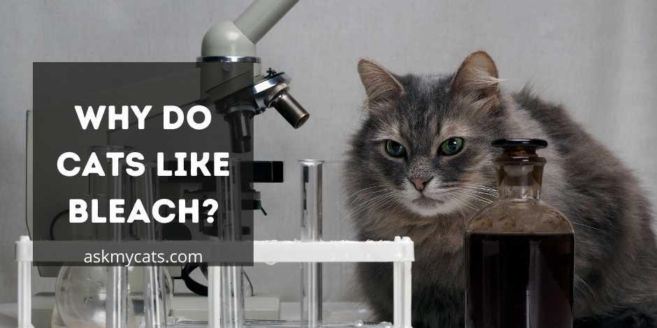 Why Do Cats Like Bleach