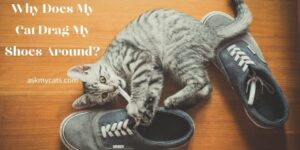 Why Does My Cat Drag My Shoes Around? Here Are The Mind-boggling Reasons!
