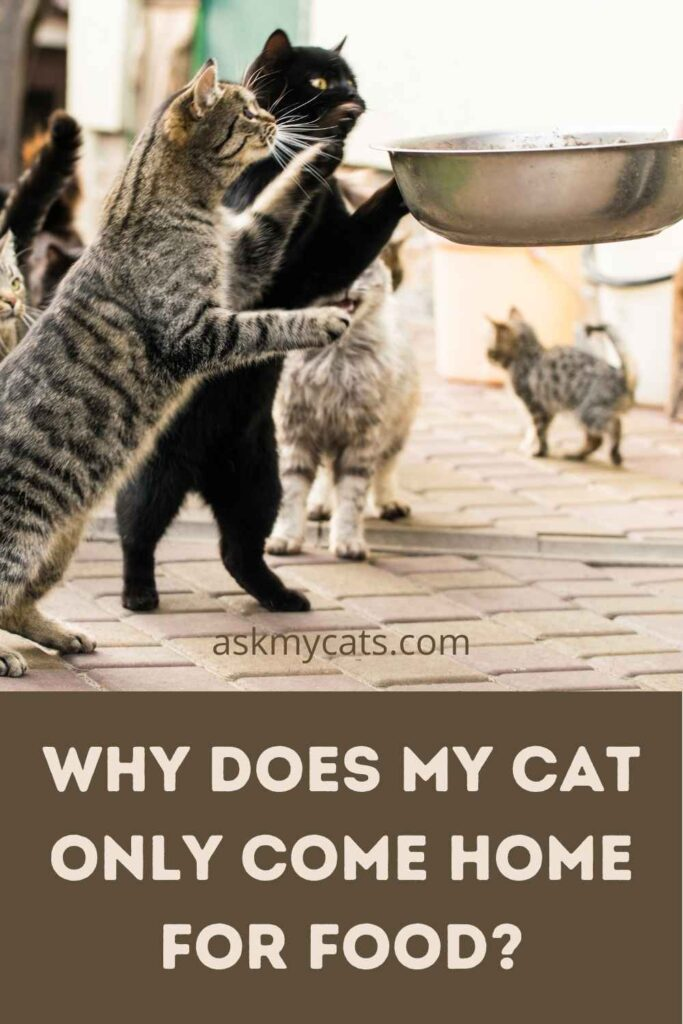 Why Does My Cat Only Come Home For Food?