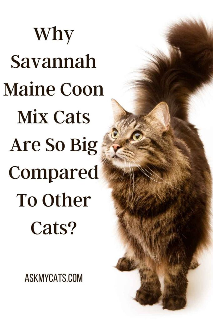 Why Savannah Maine Coon Mix Cats Are So Big Compared To Other Cats?
