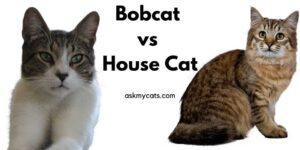 Bobcat vs House Cat – What Are The Differences?