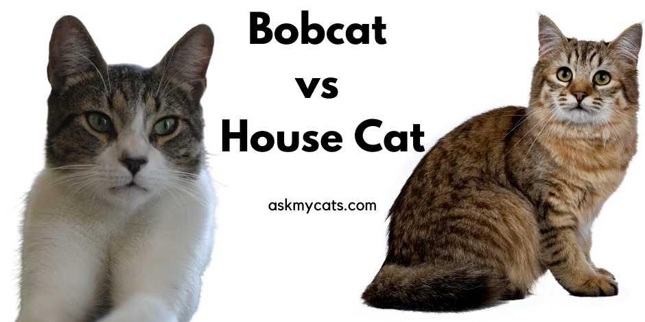 Bobcat vs House Cat