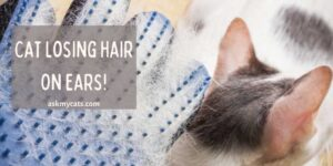 Cat Losing Hair On Ears! What's Troubling Them?