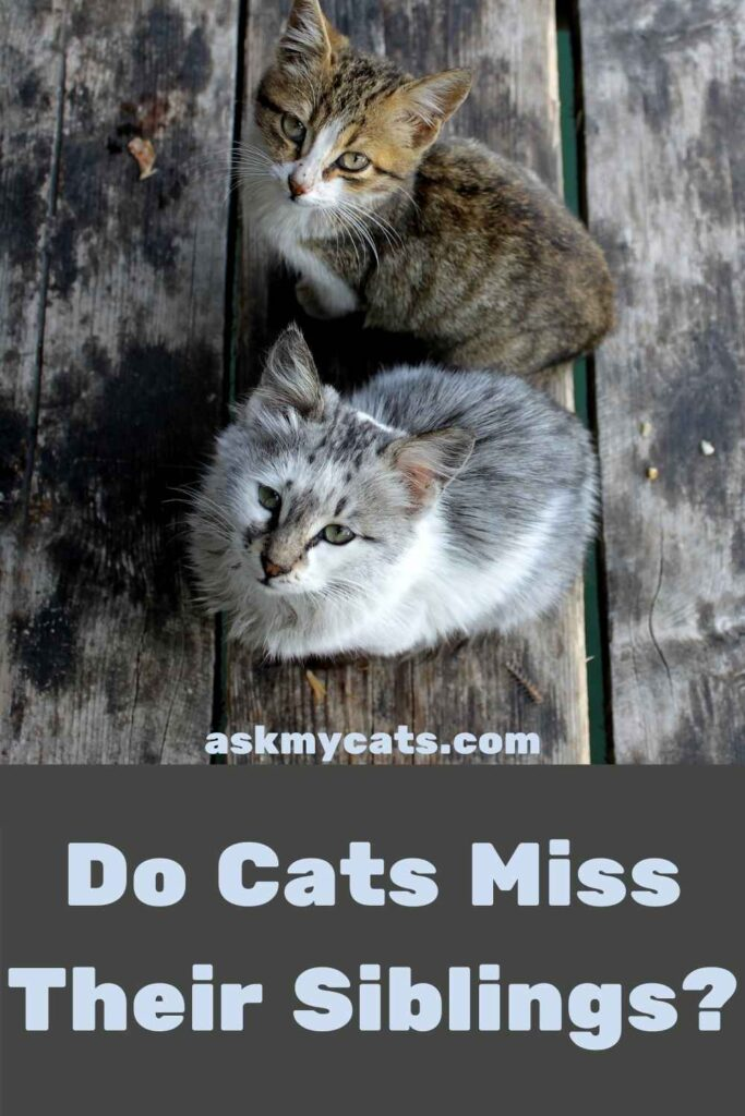 Do Cats Miss Their Siblings?