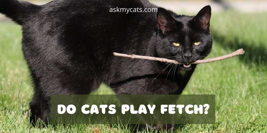 Do Cats Play Fetch