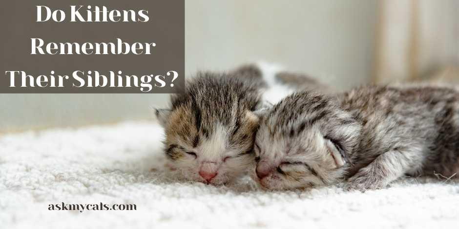Do Kittens Remember Their Siblings