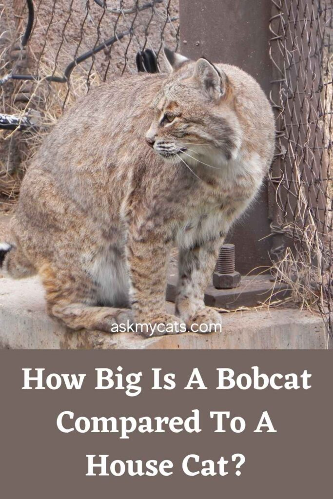 How Big Is A Bobcat Compared To A House Cat?