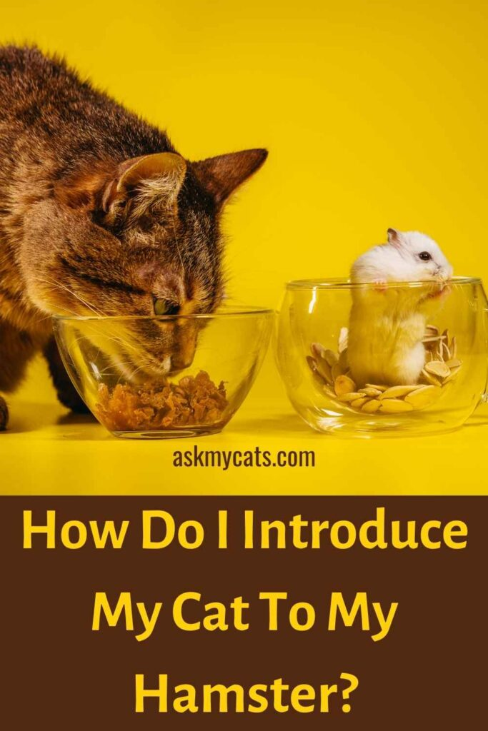 How Do I Introduce My Cat To My Hamster?