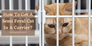 How To Get A Semi Feral Cat In A Carrier? Time To Trap Your Kitty!