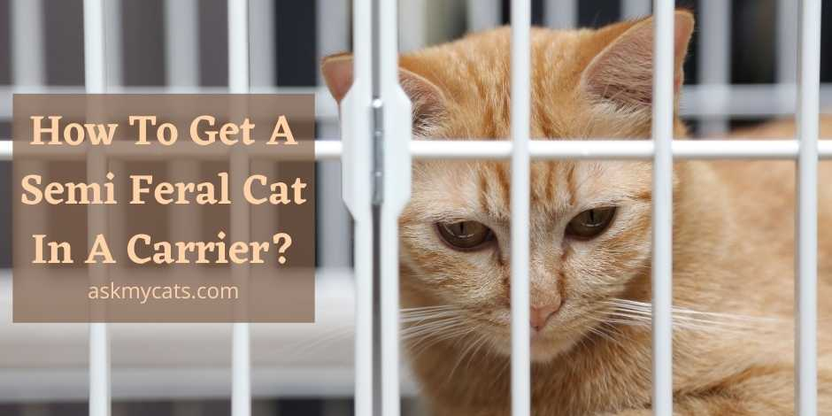 How To Get A Semi Feral Cat In A Carrier