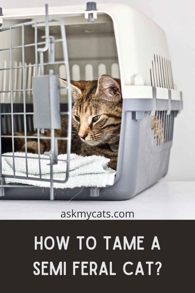 How To Tame A Semi Feral Cat?