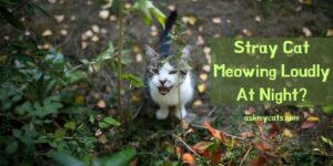 Stray Cat Meowing Loudly At Night? 9 Crazy Facts!