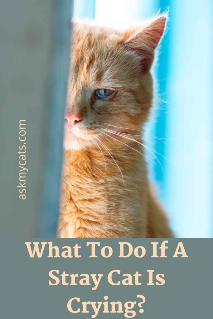 What To Do If A Stray Cat Is Crying?