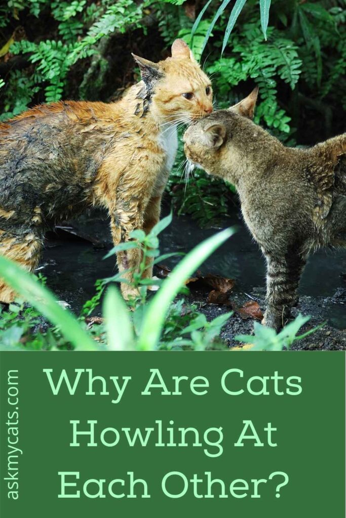 Why Are Cats Howling At Each Other?