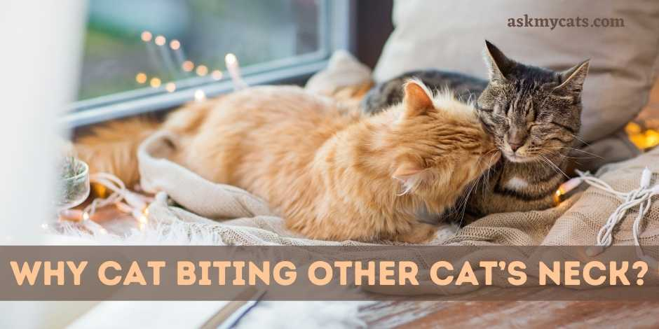 Why Cat Biting Other Cats Neck