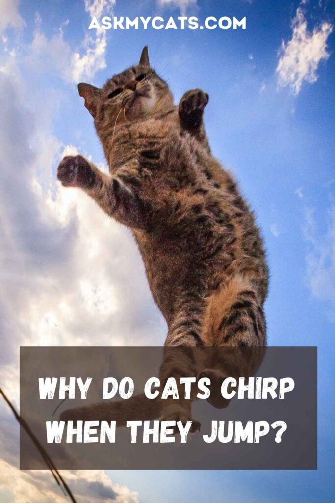 Why Do Cats Chirp When They Jump?
