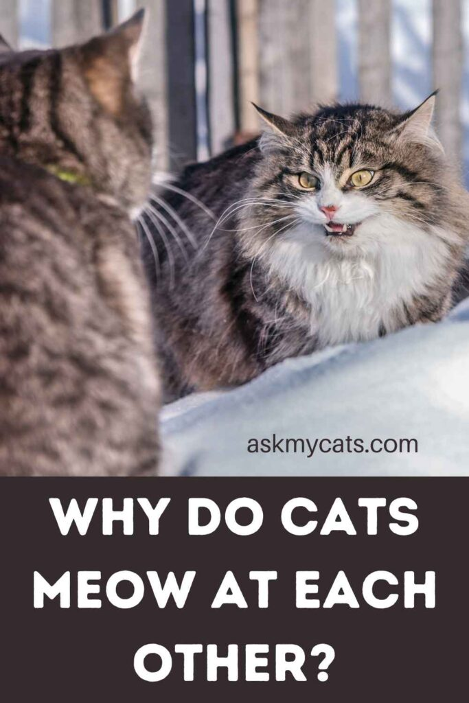 Why Do Cats Meow At Each Other?