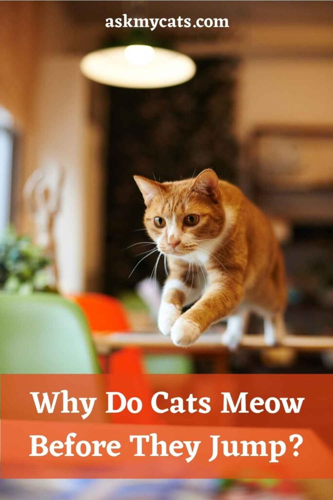 Why Do Cats Meow Before They Jump?
