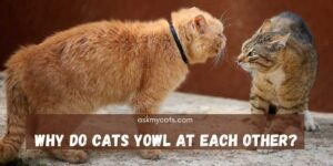 Why Do Cats Yowl At Each Other? Why So Much Aggression?