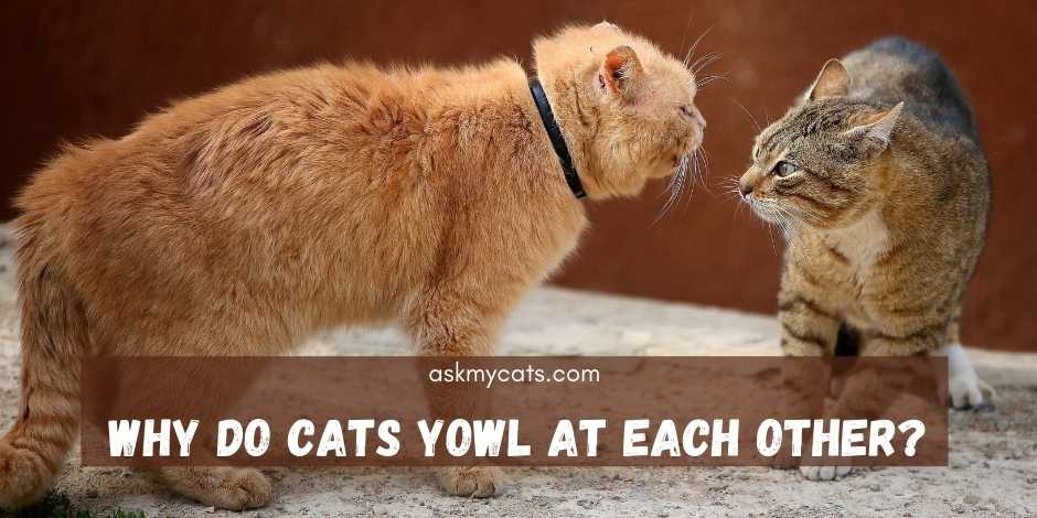 Why Do Cats Yowl At Each Other