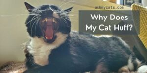 Why Does My Cat Huff? Do You Need To Worry?