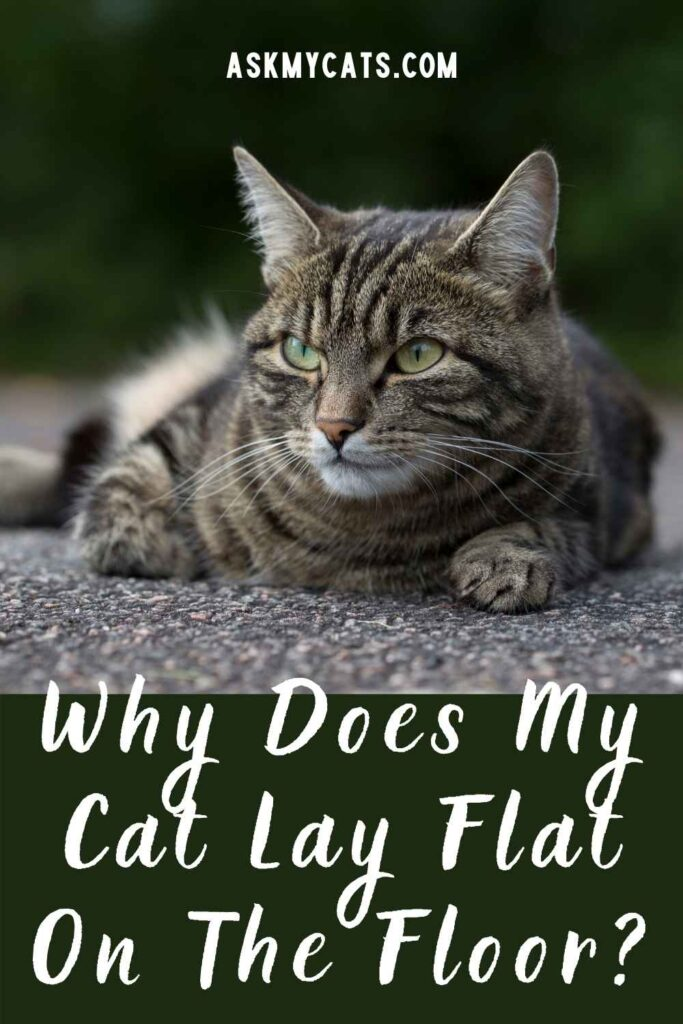 Why Does My Cat Lay Flat On The Floor?