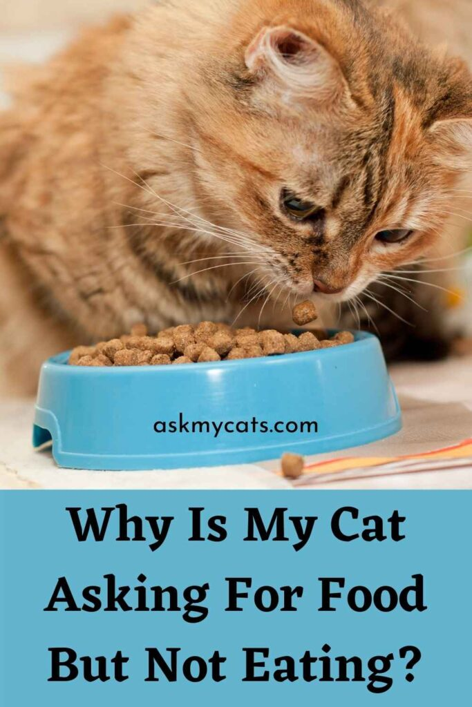 Why Is My Cat Asking For Food But Not Eating?