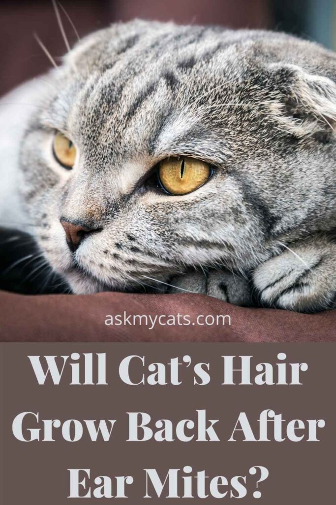 Will Cat's Hair Grow Back After Ear Mites?