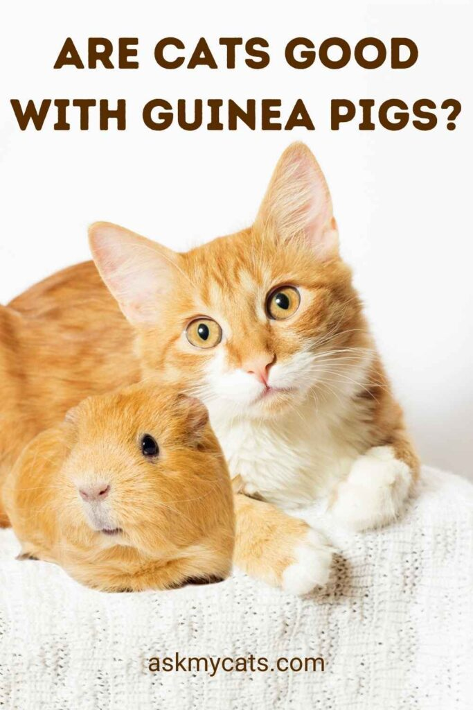 Are Cats Good With Guinea Pigs?