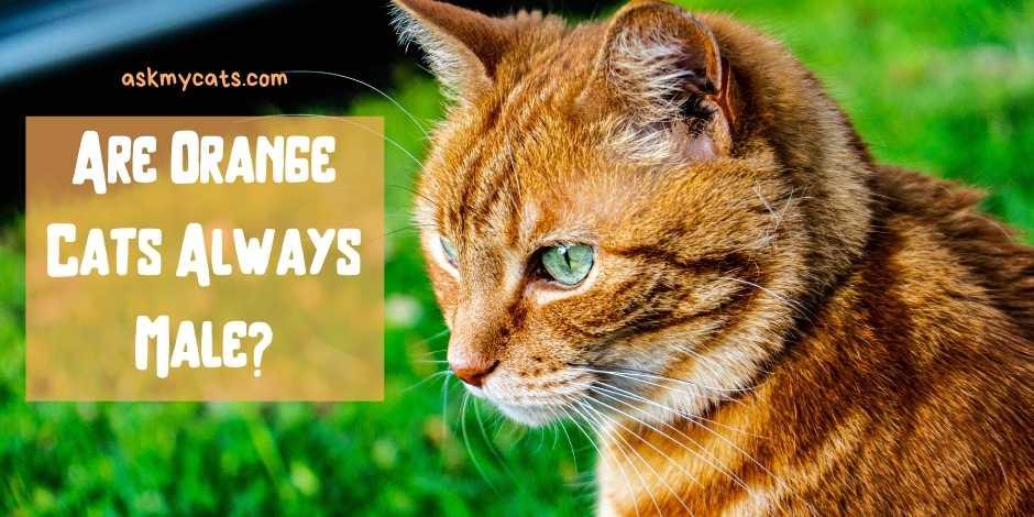 Are Orange Cats Always Male