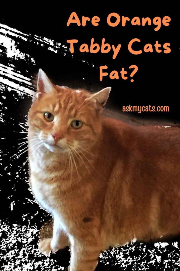 Are Orange Tabby Cats Fat?