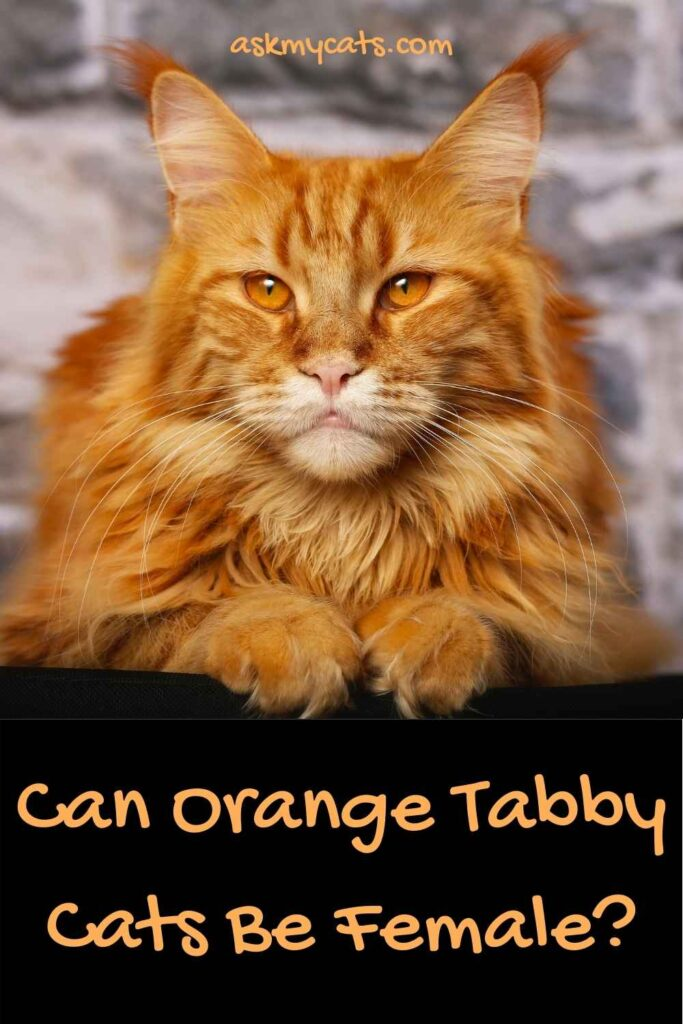 Can Orange Tabby Cats Be Female?