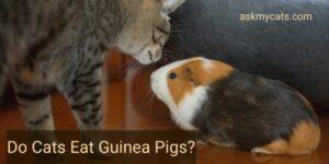 Do Cats Eat Guinea Pigs? Do They Get Along?