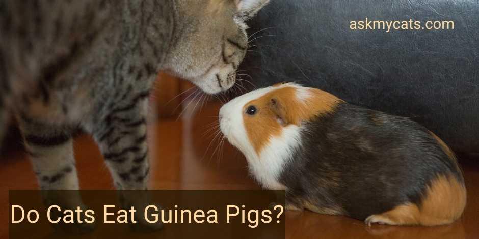 Do Cats Eat Guinea Pigs