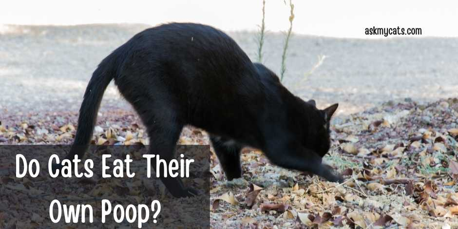 Do Cats Eat Their Own Poop?
